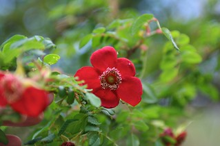 Rosa moyesii 'Geranium' | by mmmavocado