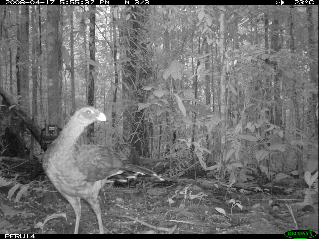 Nocturnal Currasow
