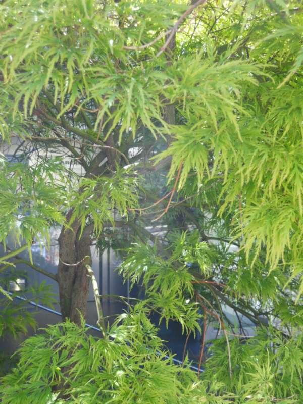 Acer palmatum 'Dissectum' v 3