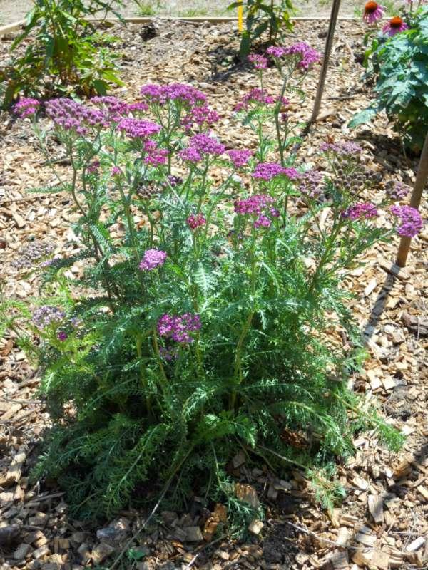 Achillea millefolium 'Cerise Queen' v 3