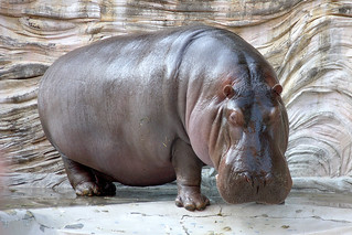 Hippopotamus - 04 | by Kabacchi
