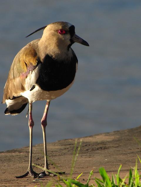 The Majestic Field Bird