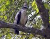 Grey-backed Hawk (Pseudastur occidentalis) by Ardeola