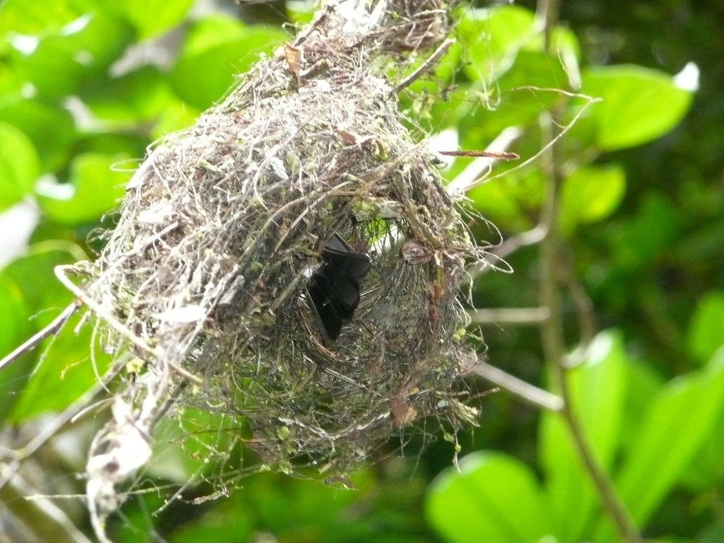 Sulphur-rumped Flycatcher nest - Myiobius barbatus