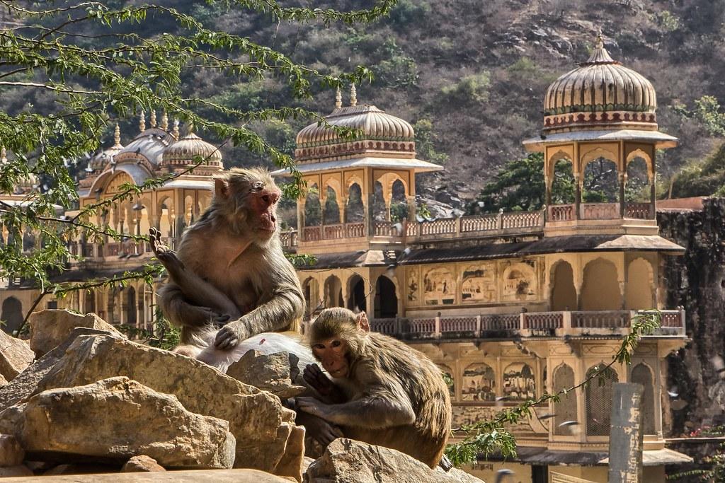 Monkey Palace, Jaipur, Rajastan, India