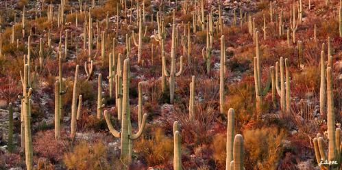 arizona cactus desert tucson saguaro sonoran