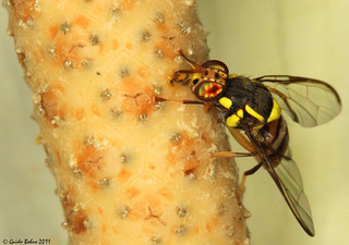 Rod-horn fruit fly attracted by a aroid spadix | by gbohne