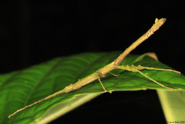 Stick insect (Phasmide) from W-Papua