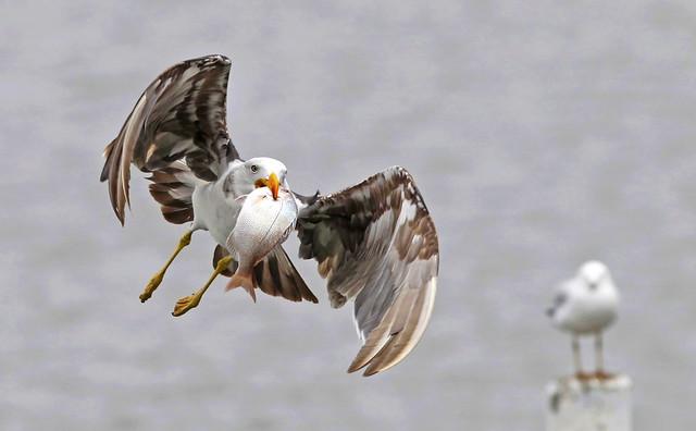 Pacific Gull : It's all Mine !!!