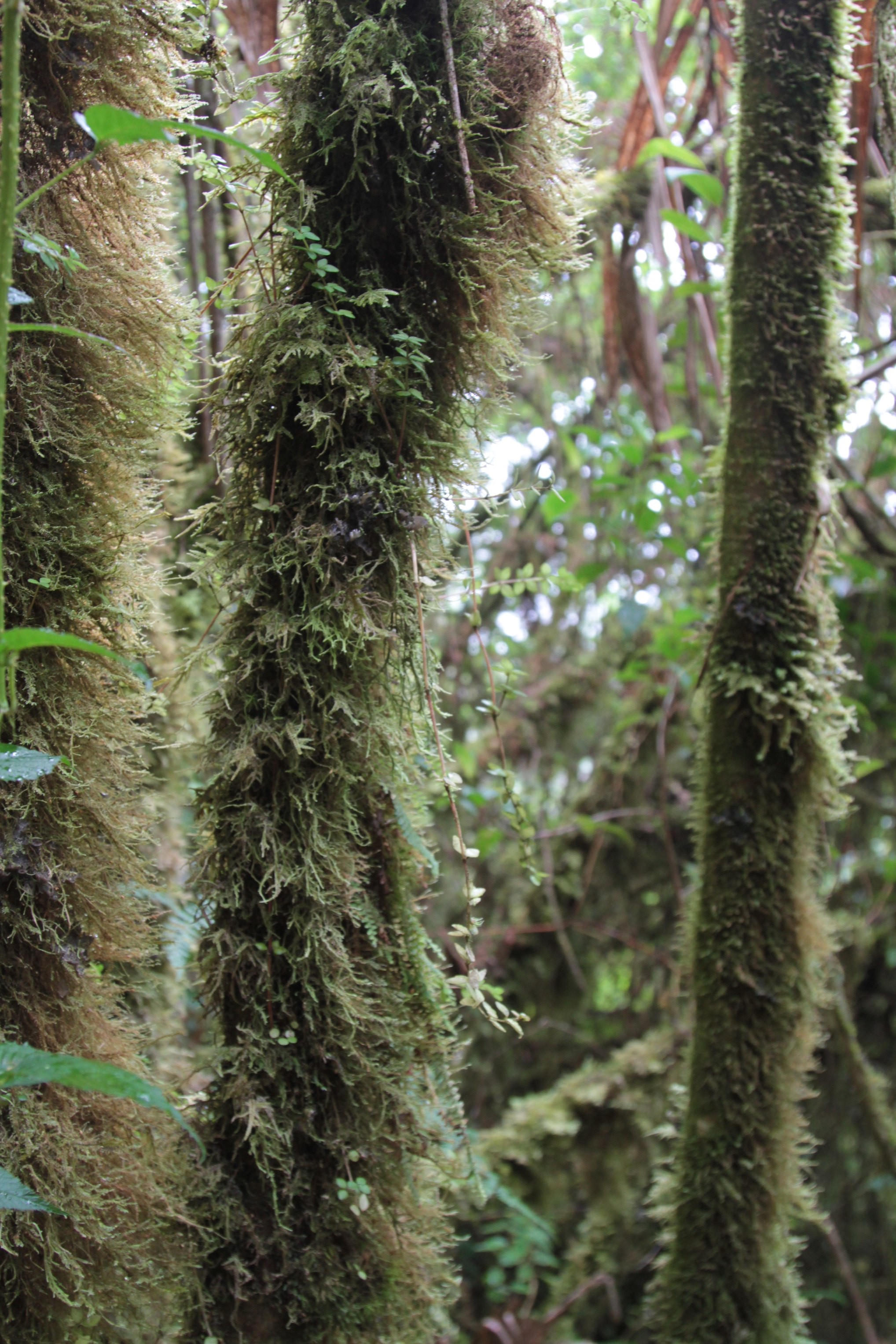 Cloud forest on Roraima slope