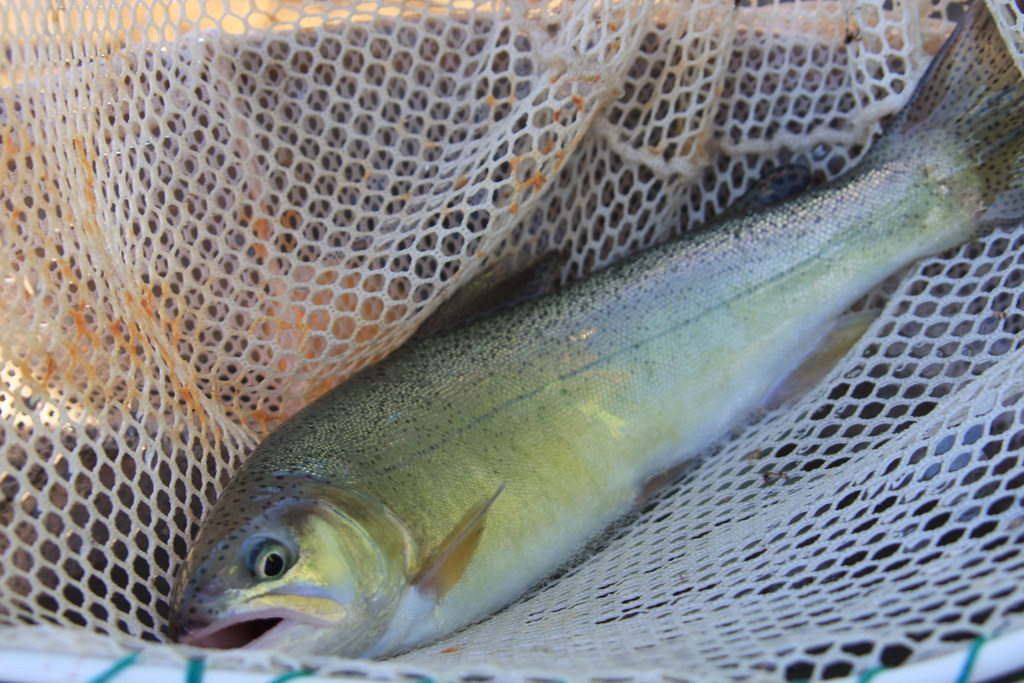 Gila Trout in Net
