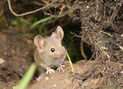 Wood mouse | by jans canon