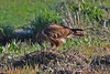 Ratonero Moro - Long-legged Buzzard - Buteo rufinus by _kamon_