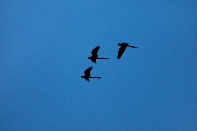 Arara-azul-de-lear (Anodorhynchus leari)