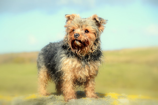 Yorkshire Terrier Capri In All Her Beauty