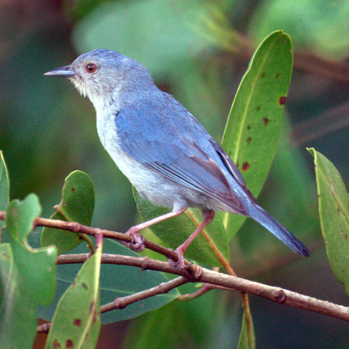 Bicolored Conebill (male) | by Mike's Birds