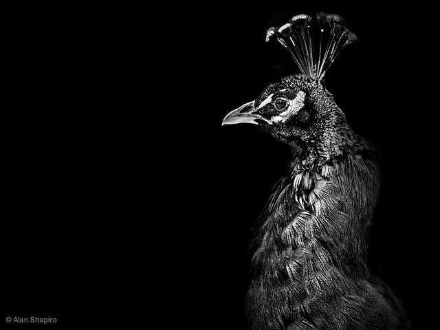 Peacock in profile