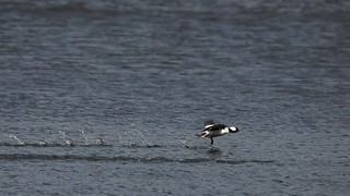 Bufflehead takes a running start to flight over Lake Brittle | by Stephen Little