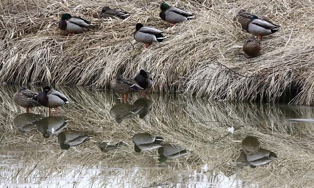 Upside-down Ducks have Quack-up?