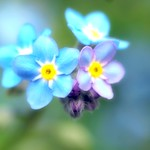 Forget-me-not:勿忘我