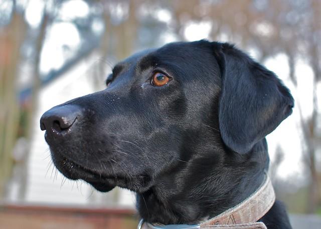 Millie the Labrador