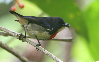 Blood-breasted Flowerpecker | by Wade Strickland