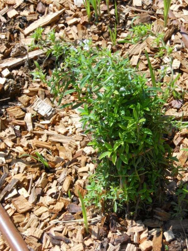 Satureja montana v 1