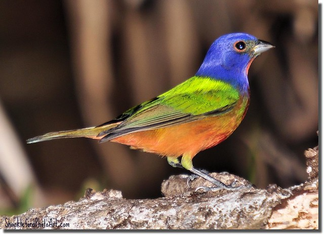 The Male Painted Bunting