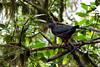 Sickle-winged Guan (Chamaepetes goudotii) by jrothdog