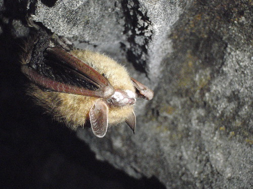 Tri-color bat with white fungus on its muzzle | by USFWS/Southeast