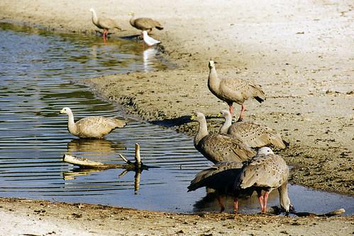 Cape Barren Geese | by dmmaus
