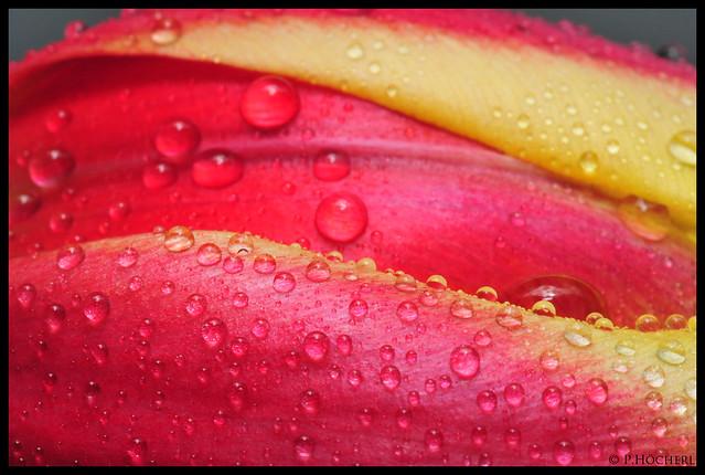 Tulpe - Tulip