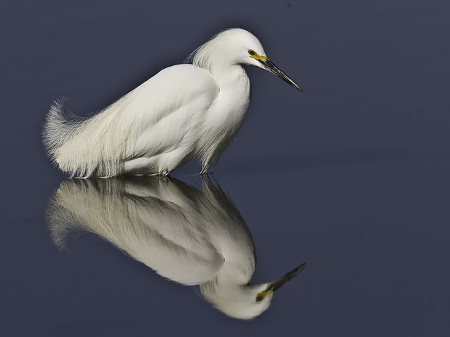 K1) Snowy Egret [Explored]