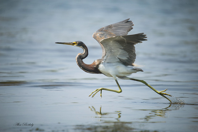 TRI-COLOURED HERON - FIRST PLACE