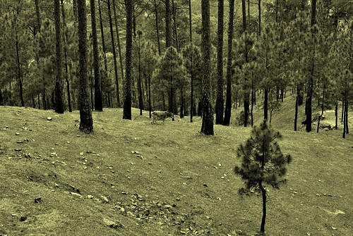 ranikhet uttarakhand parsicemetery chinaviewranikhet pine forest graves tattered peace solitude spring breeze afternoons silent flowers pink yellow random apricot tree apricottree