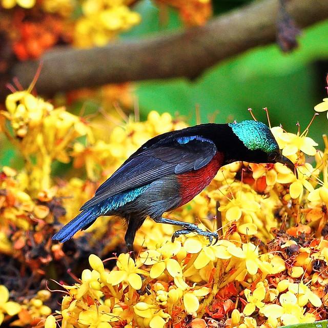 Purple Throated Sunbird