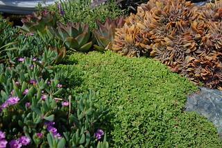 "Delosperma nubigenum ""Hardy Iceplant"" | by FarOutFlora"