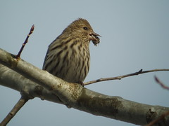 Pine Siskin, Armstrong Twp., Indiana Co., PA