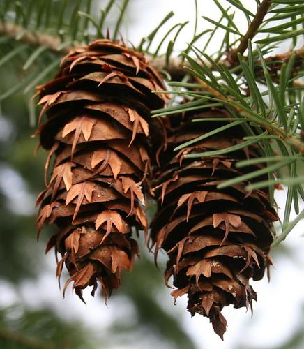 Douglas-fir Cones