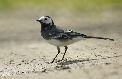 Pied Wagtail | by mike turtle