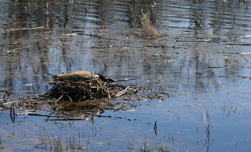 wi wisconsin bird birding canadagoose goose nationalwildliferefuge necedah nwr refuge waterfowl wildlife animal publicland