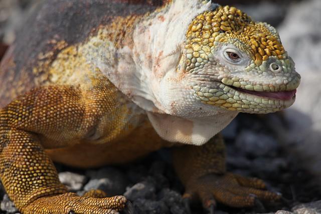 Galapagos Land Iguana on South Plaza