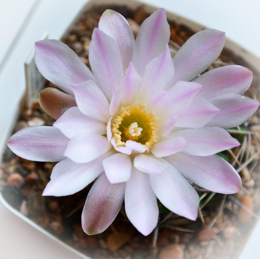 цветущий кактус... очень красиво!!!:-) DSC_2741
