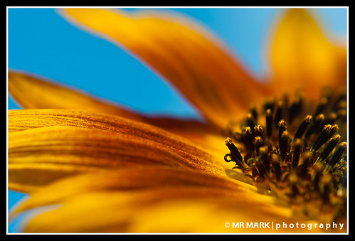 flowers summer flower field yellow ga georgia farm sunflower rutledge
