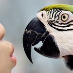 黃腹藍琉璃金鋼鸚鵡