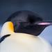 Pingüino Emperador - Photo (c) Enzo Fiorelli, algunos derechos reservados (CC BY-SA)