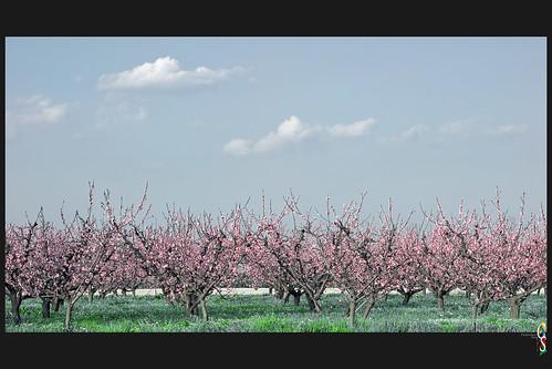 primavera nuvole campagna cielo fiori frutteto fioritura pescheto ferraraterraeacqua