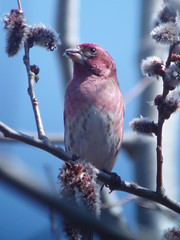 Purple Finch, Armstrong Twp., Indiana Co., PA