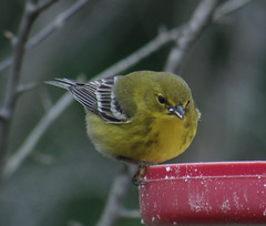 Pine Warbler, Armstrong Twp., Indiana Co., PA