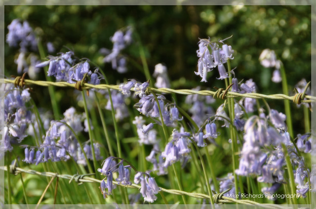 Bluebells and the Wire